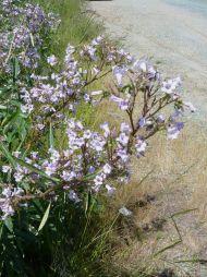 eriodictyon-californicum